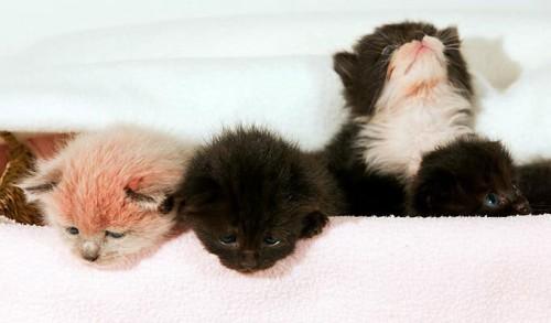 notizie animali,notizie divertenti,notizie strane,notizie commoventi,gatti,cuccioli di gatto,gattini,gatti colorati,gatti rosa