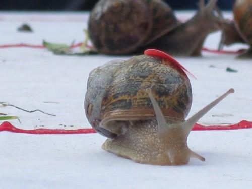 notizie animali, notizie divertenti, notizie strane, notizie commoventi, World Snail Racing Championships, Campionato mondiale di corsa per lumache, lumache