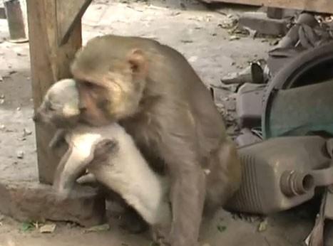 scimmia_adotta-cucciolo1.jpg