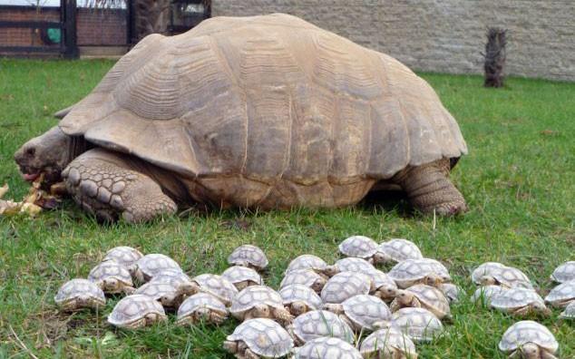 una tartaruga gigante ha avuto 45 cuccioli ma non si sa