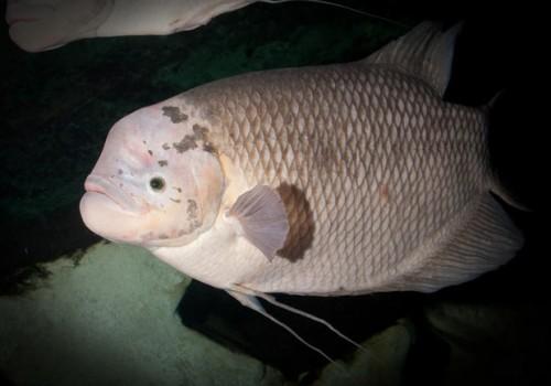 notizie animali, notizie divertenti, notizie strane, notizie commoventi, pesci d'acqua dolce, pesci sovrappeso, Gurami Giganti