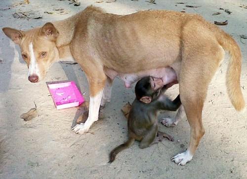 notizie animali, notizie divertenti, notizie strane, notizie commoventi, cuccioli di scimmia, scimmietta, cagna dotta scimmia, cuccioli di cane