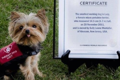 notizie animali, notizie divertenti, notizie strane, notizie commoventi, yorkshire, therapy dog, cane da assistenza più piccolo del mondo, Guinness dei Primati