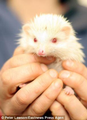 notizie animali, notizie divertenti, notizie strane, notizie commoventi, porcospini, porcospini albini, rifugi per animali abbandonati