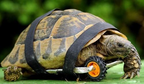 notizie animali, notizie divertenti, notizie strane, notizie commoventi, tartarughe, protesi per tartarughe, ruote per tartarughe