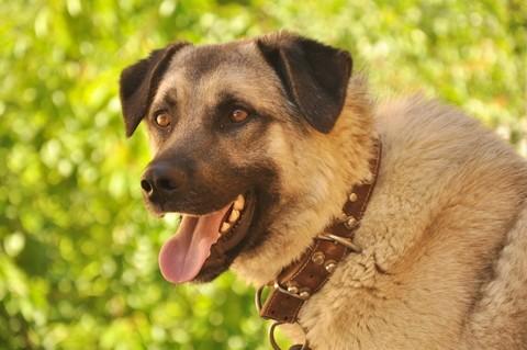 notizie animali, notizie divertenti, notizie strane, notizie commoventi, cani, pastore dell'Anatolia, cani a tre zampe, therapy dog, sindrome di Schwartz-Jampel, agorafobia