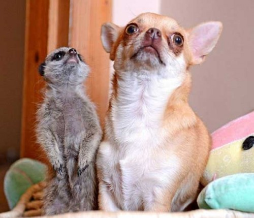 notizie animali, notizie divertenti, notizie strane, notizie commoventi, cani, chihuahua, meerkat, cane adotta meerkat