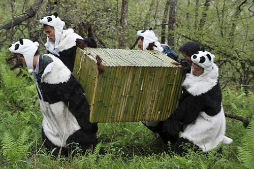 notizie animali, notizie divertenti, notizie strane, notizie commoventi, panda, Wolong National Nature Reserve