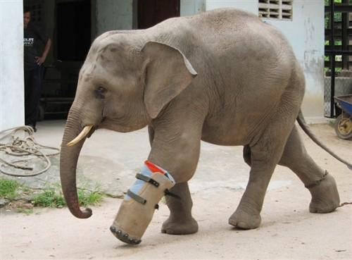 notizie animali, notizie divertenti, notizie strane, notizie commoventi, elefanti, cucciolo di elefante, baby elefante, protesi ortopedica per elefanti, bracconieri