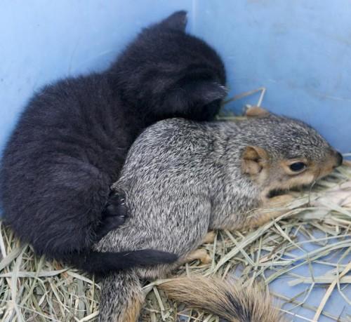 notizie animali, notizie divertenti, notizie strane, notizie commoventi,gatti, gattini, cuccioli di gatto, cucciolata di gatti, mamma gatta, scoiattoli, cuccioli di scoiattolo, gatta adotta scoiattolo