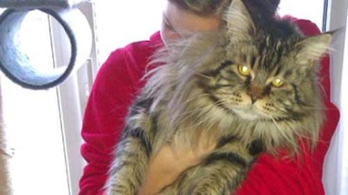 gatti,gatti Maine Coon,gatti rapiti,notizie animali,notizie commoventi,notizie divertenti,notizie strane,